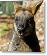 Interview With A Swamp Wallaby Metal Print