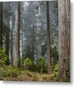 Into The Redwood Forest Metal Print