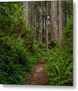 Into The Redwoods Metal Print