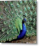 Iridescent Blue-green Peacock Metal Print