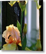 Iris Along The Fence 6731 H_2 Metal Print