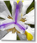 Iris An Explosion Of Friendly Colors Metal Print