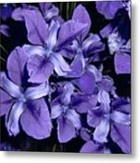 Iris At Night Metal Print