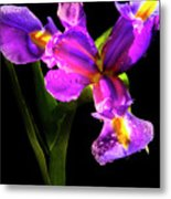 Iris Bloom Two Metal Print