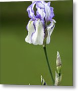 Iris Buds To Flower Metal Print