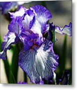 Iris Dressed For Royalty Metal Print