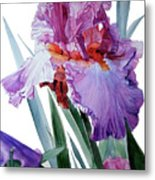 Watercolor Of A Tall Bearded Iris In Pink, Lilac And Red I Call Iris Pavarotti Metal Print