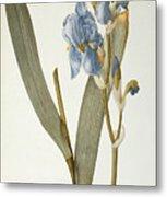 Iris Pallida Metal Print by Pierre Joseph Redoute