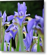 Irises Flowers Art Prints Blue Purple Iris Floral Baslee Troutman Metal Print