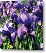 Irises Princess Royal Smith Metal Print
