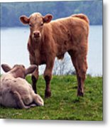 Irish Calves At Lough Eske Metal Print