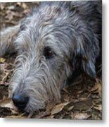 Irish Wolfhound Ivan Metal Print
