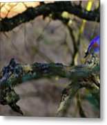 Isolated Blue Bird Metal Print