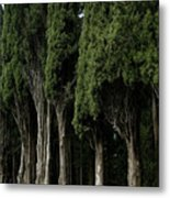 Italian Cypress Trees Line A Road Metal Print