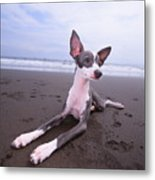Italian Grey Hound On Beach Metal Print