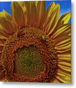 Italian Sunflower With Bees Metal Print