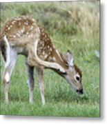 Itchy Fawn Metal Print