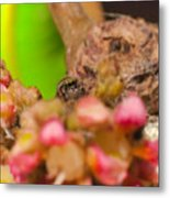 Itsy Bitsy Spider Over Mango  Tree Flowers Metal Print