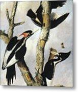 Ivory-billed Woodpeckers Metal Print