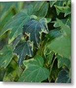 Ivy Greens Metal Print