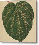 Ivy Leaf, Cissus Porphyrophyllus  Metal Print