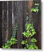 Ivy On Fence Metal Print