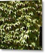 Ivy Sunlight Metal Print