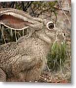 Jack Rabbit Portrait Metal Print