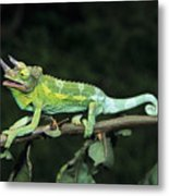 Jacksons Chameleon On Branch Metal Print by Dave Fleetham - Printscapes