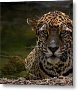 Jaguar In The Water Metal Print