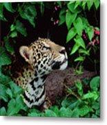 Jaguar Panthera Onca Peeking Metal Print