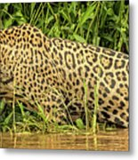 Jaguar Prowls The River's Edge Metal Print