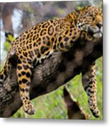 Jaguar Relaxation Metal Print