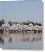 Japanese Cherry Blossom Trees Metal Print