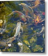 Japanese Koi Fish Metal Print