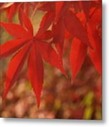 Japanese Maple In Afternoon Metal Print