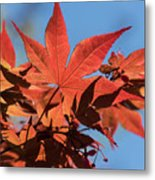 Japanese Maple In Sunlight Metal Print