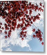 Japanese Maple Red Lace - Horizontal View Downwards Right Metal Print