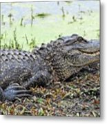 Jarvis Creek Gator Metal Print