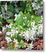 Jasmine In Bloom Metal Print