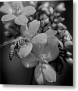 Jatropha Blossoms Wasp Painted Bw Metal Print