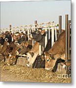 Jersey Cows Feeding Metal Print