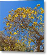 Jerusalem Thorn Tree Metal Print