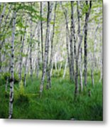 Jesup Path Birches Metal Print