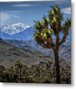 Joshua Tree In Joshua Park National Park With The Little San Bernardino Mountains In The Background Metal Print
