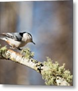 Jump - White-breasted Nuthatch Metal Print