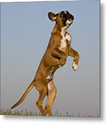 Jumping Boxer Puppy Metal Print by Jean-Louis Klein & Marie-Luce Hubert