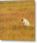 Jumping Coyote Metal Print