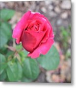 June Rose #5 Metal Print