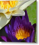 Just Opening Purple Waterlily With White - Vertical Metal Print